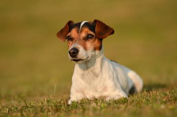 Hund liegt im Gras - Jack Russell Terrier