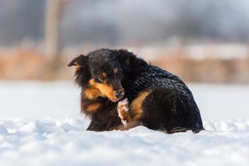 Australian Shepherd dog gnawing at the paw
