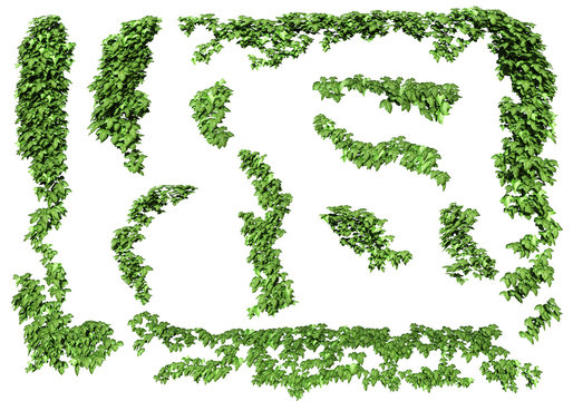 Green ivy plant isolated. ivy leaves isolated on a white background.