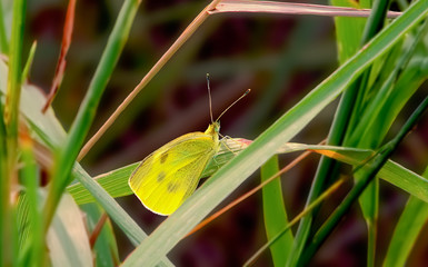 Yellow Cabbage Butterfly. - Yellow Cabbage Butterfly sitting on green grass on a summers day close up  _.   Yellow Cabbage Butterfly sitting on green grass on a summers day close up