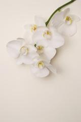 Autocollant pour porte Orchidée romantic branch of white orchid