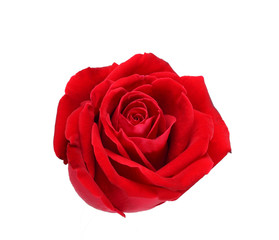 Keuken foto achterwand Roses Natural red rose isolated on white background