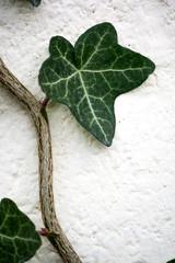 Ivy Leaf Close Up