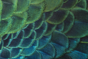 close-up peacock feathers, Beautiful bird feathers
