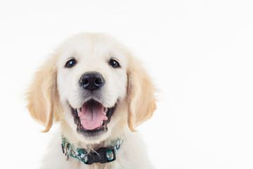 happy panting golden labrador retriever puppy dog