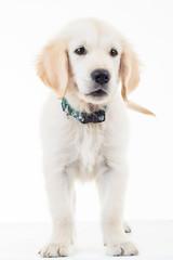 golden labrador retriever puppy dog standing