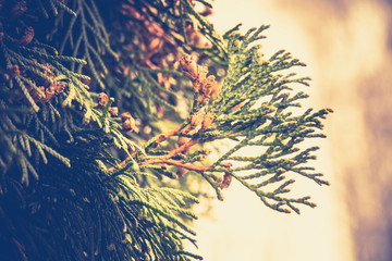 Spruce Tree Branches Filtered