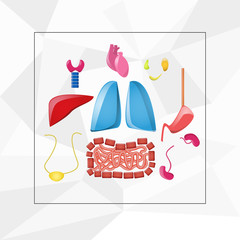 Cartoon bright internal organs set on the white background. Lung