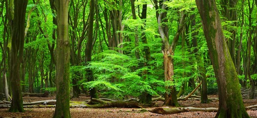 Spring beech tree forest in the Netherlands, Veluwe.