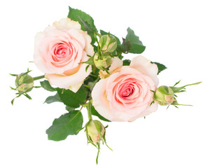 Two Pink blooming fresh roses branch with buds isolated on white background