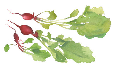 Radish with leaves, Hand drawn watercolor painting and illustration on the white background. For creating of beautiful vegan backgrounds, banner for farm market, bio sign, eco symbols. Natural radish.