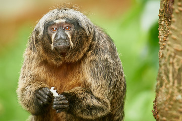 Old Woolly monkey