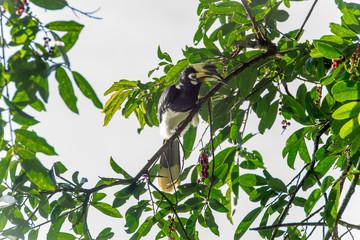Hornbill Smack on the Tree
