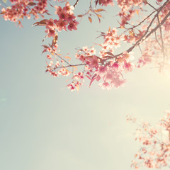 Vintage cherry blossom - sakura flower. nature background