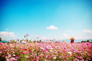 Wall Mural - Landscape nature background of beautiful pink and red cosmos flower field with blue sky.