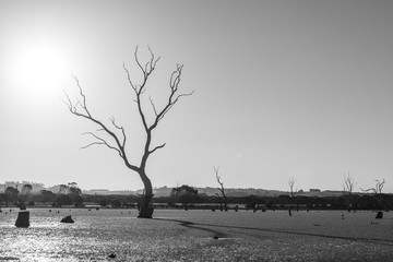 Bare trees in a swamp with long shadows in black and white