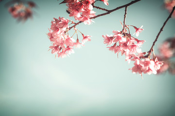 Wall Mural - Close-up of sakura flower (cherry blossom) in spring. vintage color tone style.