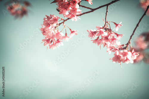 Wall mural Close-up of sakura flower (cherry blossom) in spring. vintage color tone style.