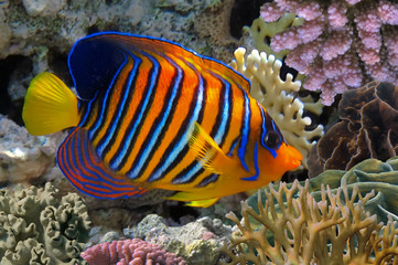 Regal angelfish in the Red Sea