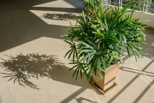 Green lady palm or Bamboo with shadow on brown floor rough (Rhapis exclesa, PLAMAE)