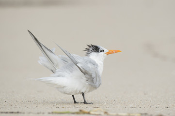 A Royal Tern stands on a sandy beach while shaking out its wings and feathers on an overcast day.