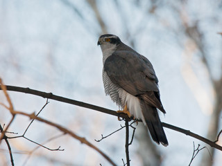Northern goshawk sitting on branch