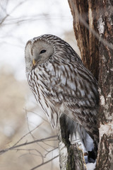 Ural owl sitting on cracked tree