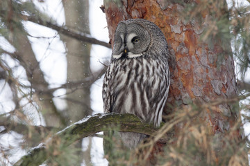 Great grey owl sitting on branch of pine tree