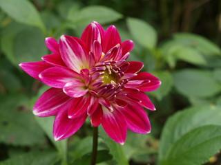 Fleur rose écarlate!