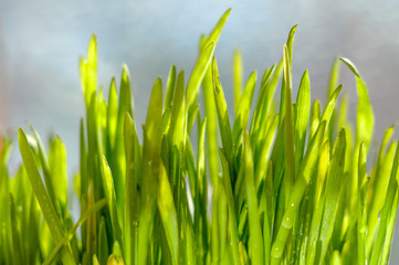 Fresh green spring grass blades with water drops on bright background