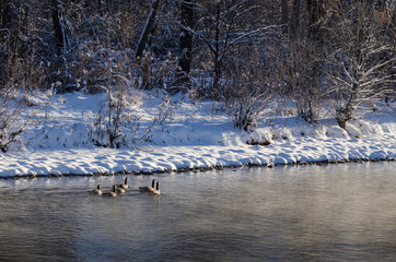 Small Flock of Geese Swimming Along the Cold Snowy Winter River