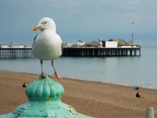 Seagull at brighton beach with pier, england