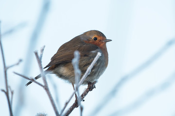 European Robin, Erithacus rubecula, Robin, Birds