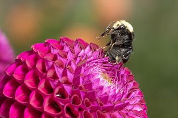 Yellow-faced Bumblebee sitting up grooming its proboscis tongue on a beautiful purple Dahlia.