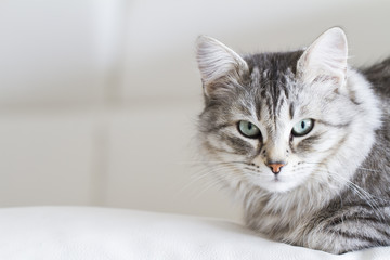 silver cat of siberian breed in the house