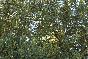 Mediterranean olive field with old olive tree in Monteprandone (Marche) Italy.