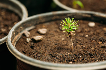 Green Sprouts Of Pine Tree Plant With Leaf, Leaves Growing From Soil In Pot In Greenhouse Or Hothouse.