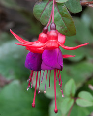 Fushia wild in new Zealand