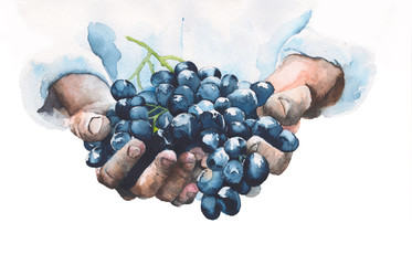 Grapes in hands watercolor painting illustration isolated on white background