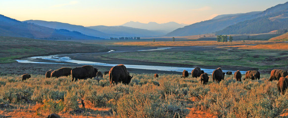 Spoed Fotobehang Buffel Bison Buffalo herd at dawn in the Lamar Valley of Yellowstone National Park in Wyoiming USA