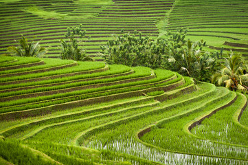 Foto op Canvas Indonesië Rice Fields of Bali, Indonesia. Some of the most dramatic and beautiful rice terraces in Bali can be seen around the village of Belimbing in the Tabanan Regency.