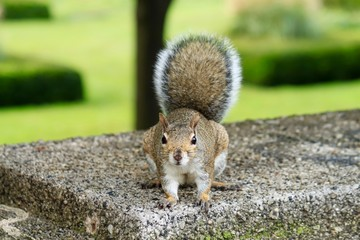 Grey squirrel looking at camera in Chicago park