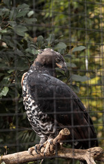 Crowned eagle Stephanoaetus coronatus
