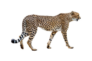 Cheetah Walking Profile Isolated on White Wall mural