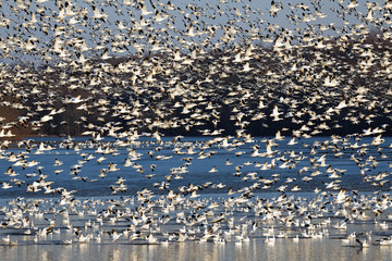 Migrating Snow Geese Fly Off Lake