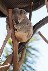 Koala bear Phascolarctos cinereus