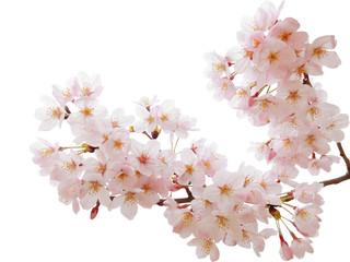 満開の桜切抜き