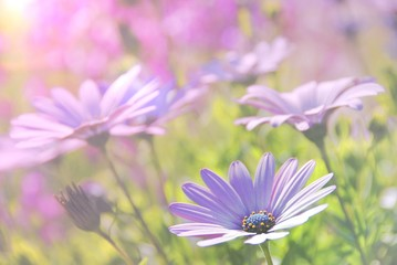 Soft blur Purple African Daisy in garden ( Osteospermum Ecklonis