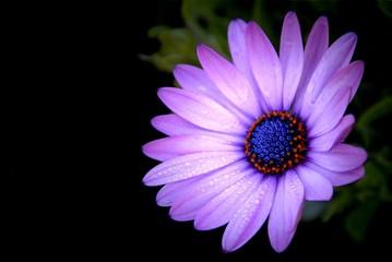 Purple African Daisy in garden ( Osteospermum Ecklonis ) on blac