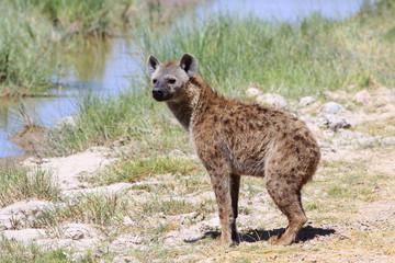 Fotobehang Hyena Одинокая гиена прогуливается в полдень на открытых просторах Африки